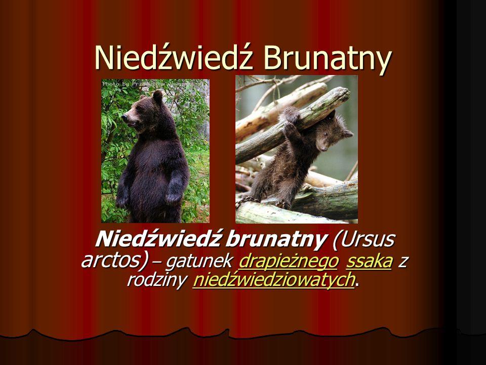 Niedźwiedź Brunatny Niedźwiedź brunatny (Ursus arctos) – gatunek drapieżnego ssaka z rodziny niedźwiedziowatych. drapieżnegossakaniedźwiedziowatychdra