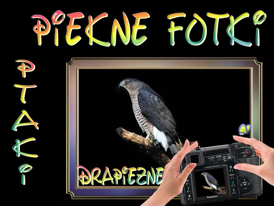 Sokół wędrowny - (Falco peregrinus)