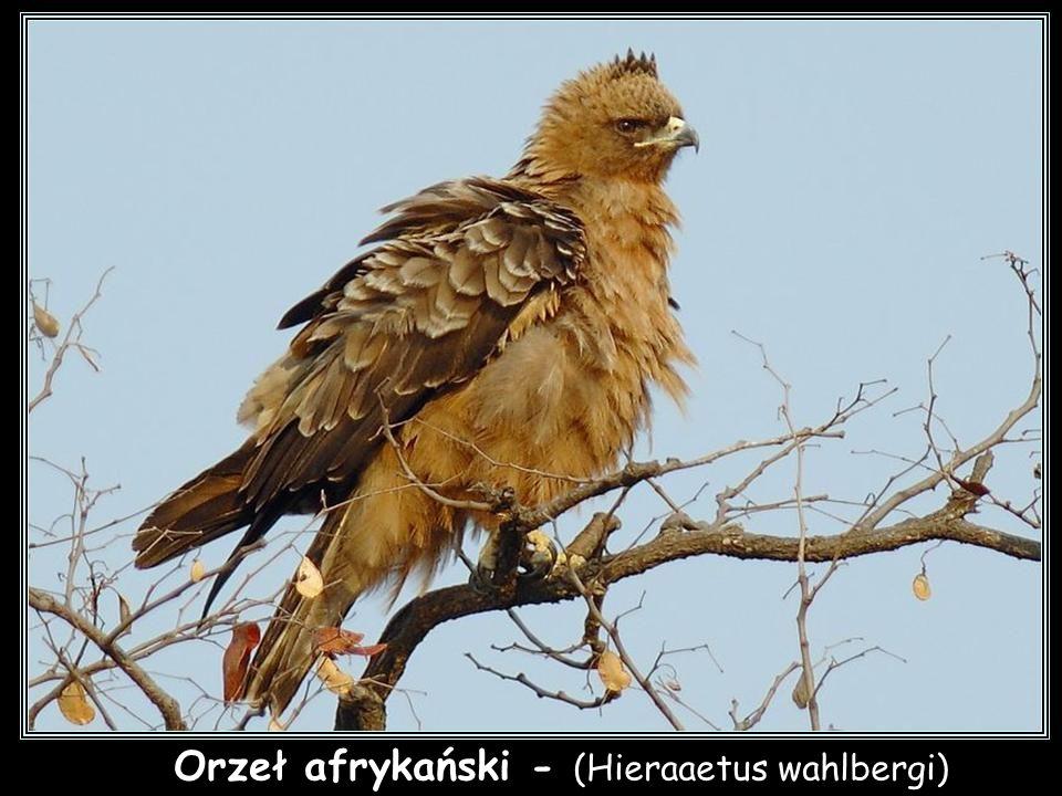 Orzeł czarny - (Aquila verreauxii)