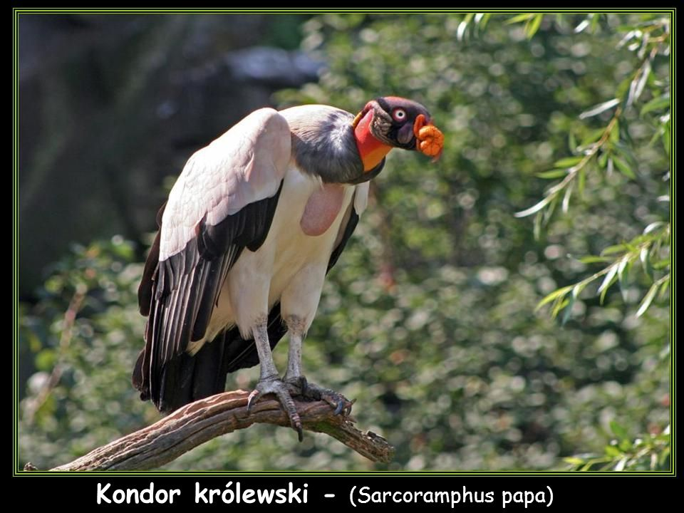 Kondor królewski - (Sarcoramphus papa)