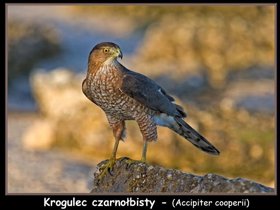 Krogulec - (Accipiter nisus)