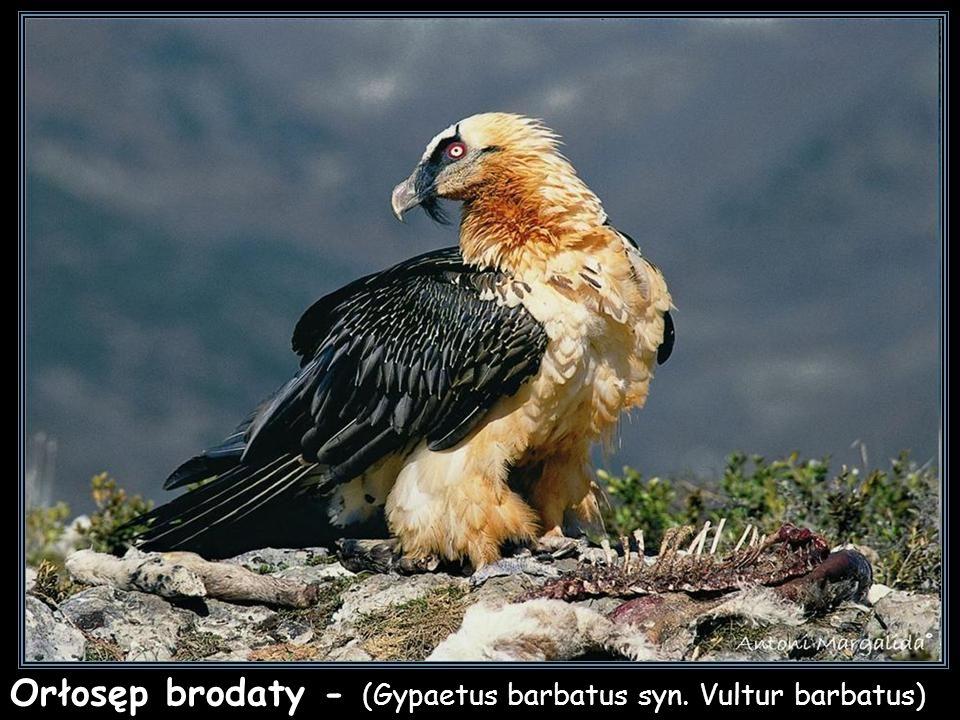 Sęp płowy - (Gyps fulvus)
