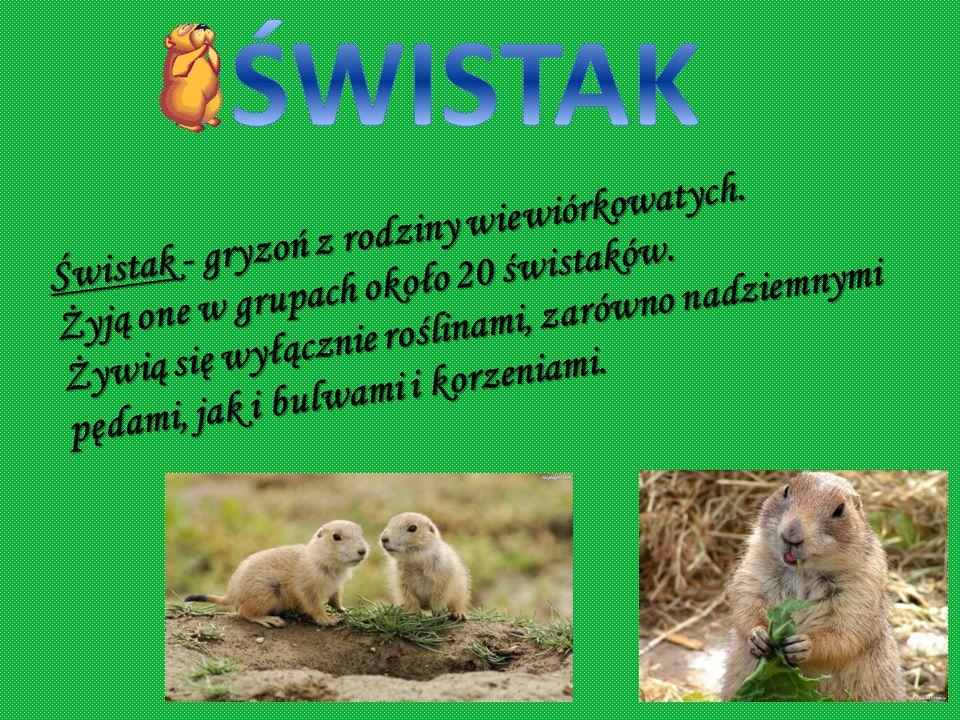 Ryś - gatunek lądowego ssaka drapieżnego z rodziny kotowatych. Rysie najczęściej żyją z samicami. Żywią się zdobyczami upolowanymi przez siebie np. sa