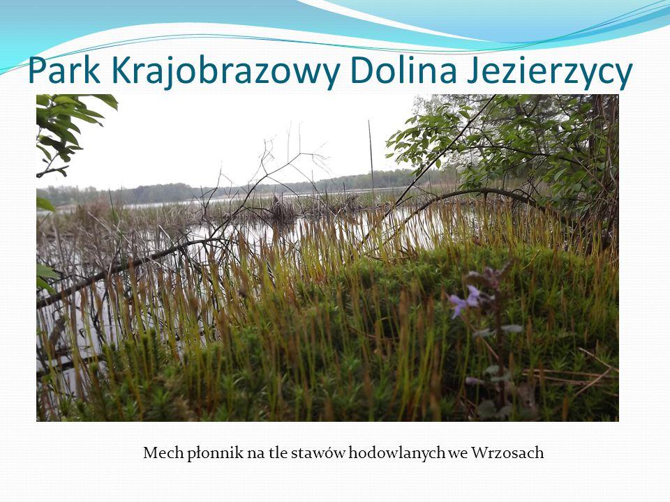 Park Krajobrazowy Dolina Jezierzycy Mech płonnik na tle stawów hodowlanych we Wrzosach