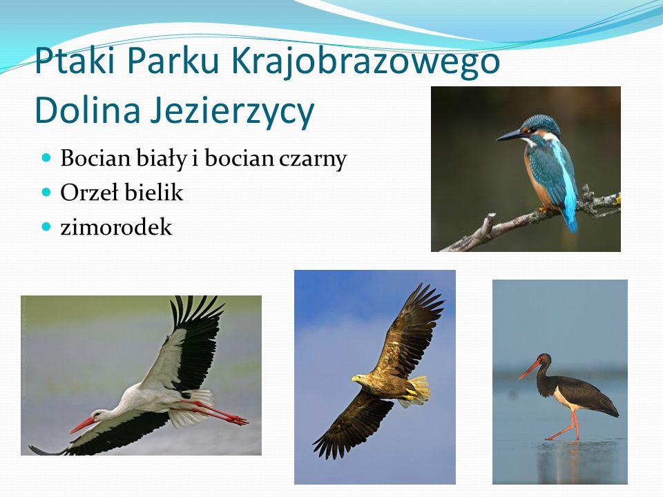 Ptaki Parku Krajobrazowego Dolina Jezierzycy Bocian biały i bocian czarny Orzeł bielik zimorodek
