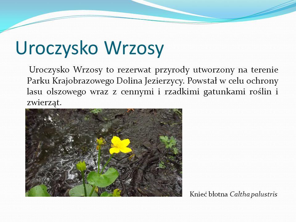 Uroczysko Wrzosy to rezerwat przyrody utworzony na terenie Parku Krajobrazowego Dolina Jezierzycy. Powstał w celu ochrony lasu olszowego wraz z cennym