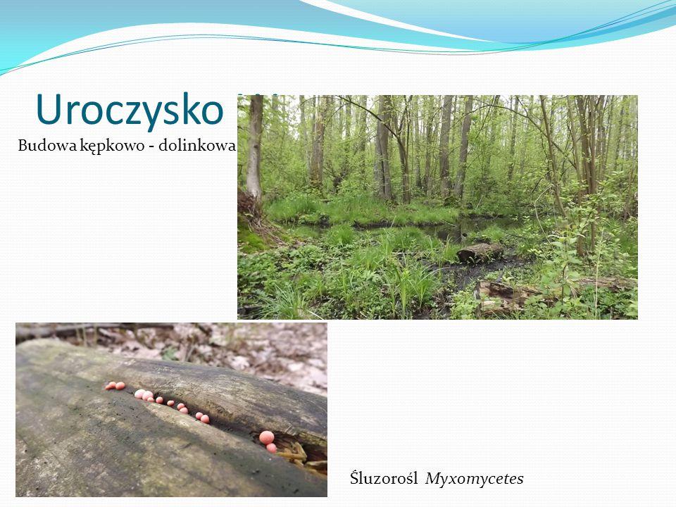 Uroczysko Wrzosy Śluzorośl Myxomycetes Budowa kępkowo - dolinkowa