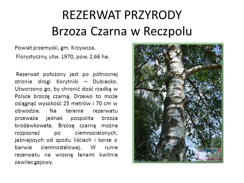 POMNIKI PRZYRODY Największe skupienie drzew pomnikowych notuje się w otoczeniu kościoła w Pruchniku: - Lipa drobnolistna o wymiarach - w pierśnicy 380 cm, wysokość 25 m, 250 lat - Lipa drobnolistna o wymiarach - w pierśnicy 410 cm, wysokość 25 m, ca.