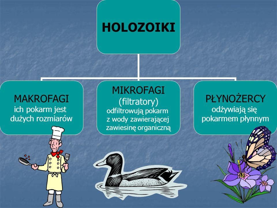 HOLOZOIKI MAKROFAGI ich pokarm jest dużych rozmiarów MIKROFAGI (filtratory) odfiltrowują pokarm z wody zawierającej zawiesinę organiczną PŁYNOŻERCY od