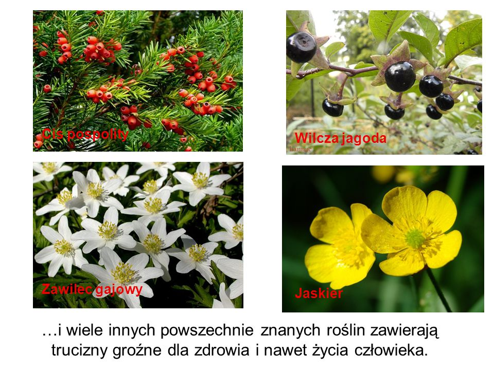 …i wiele innych powszechnie znanych roślin zawierają trucizny groźne dla zdrowia i nawet życia człowieka. Wilcza jagoda Cis pospolity Zawilec gajowy J