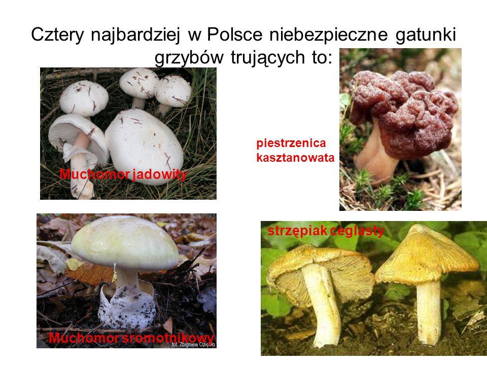 Cztery najbardziej w Polsce niebezpieczne gatunki grzybów trujących to: Muchomor jadowity piestrzenica kasztanowata Muchomor sromotnikowy strzępiak ce