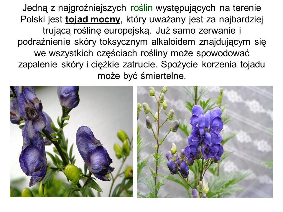 Jedną z najgroźniejszych roślin występujących na terenie Polski jest tojad mocny, który uważany jest za najbardziej trującą roślinę europejską. Już sa