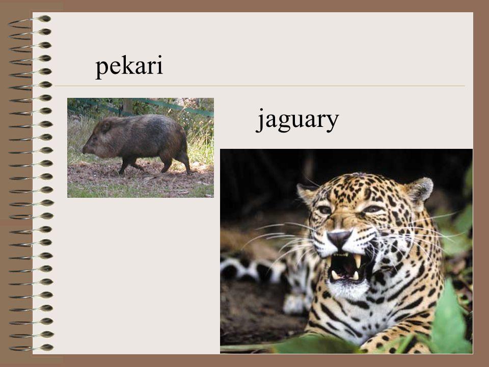 Tapiry