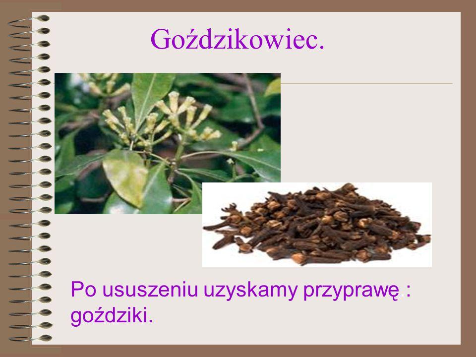 kakaowiec Z owoców kakaowca jest wytwarzane kakao..