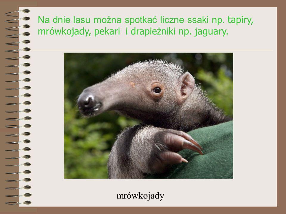 Na dnie lasu można spotkać liczne ssaki np.tapiry, mrówkojady, pekari i drapieżniki np.