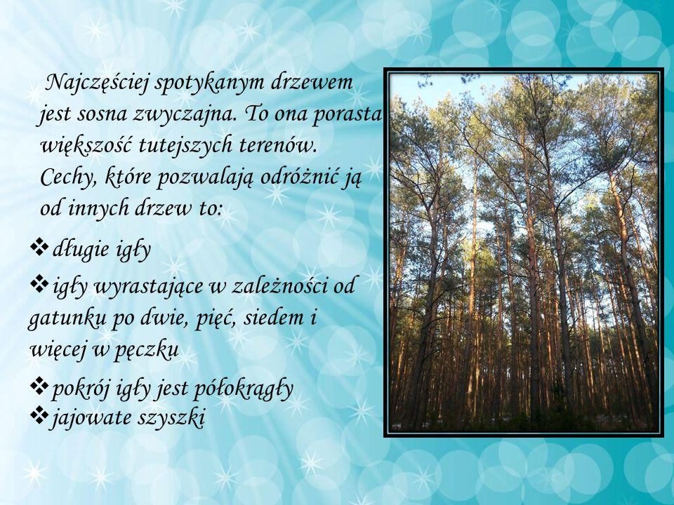 Najczęściej spotykanym drzewem jest sosna zwyczajna. To ona porasta większość tutejszych terenów. Cechy, które pozwalają odróżnić ją od innych drzew t
