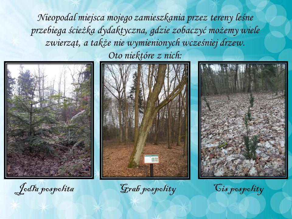 Nieopodal miejsca mojego zamieszkania przez tereny leśne przebiega ścieżka dydaktyczna, gdzie zobaczyć możemy wiele zwierząt, a także nie wymienionych wcześniej drzew.