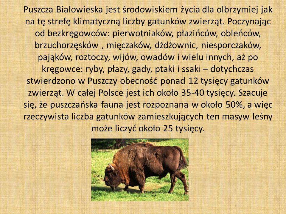 Puszcza Białowieska jest środowiskiem życia dla olbrzymiej jak na tę strefę klimatyczną liczby gatunków zwierząt.