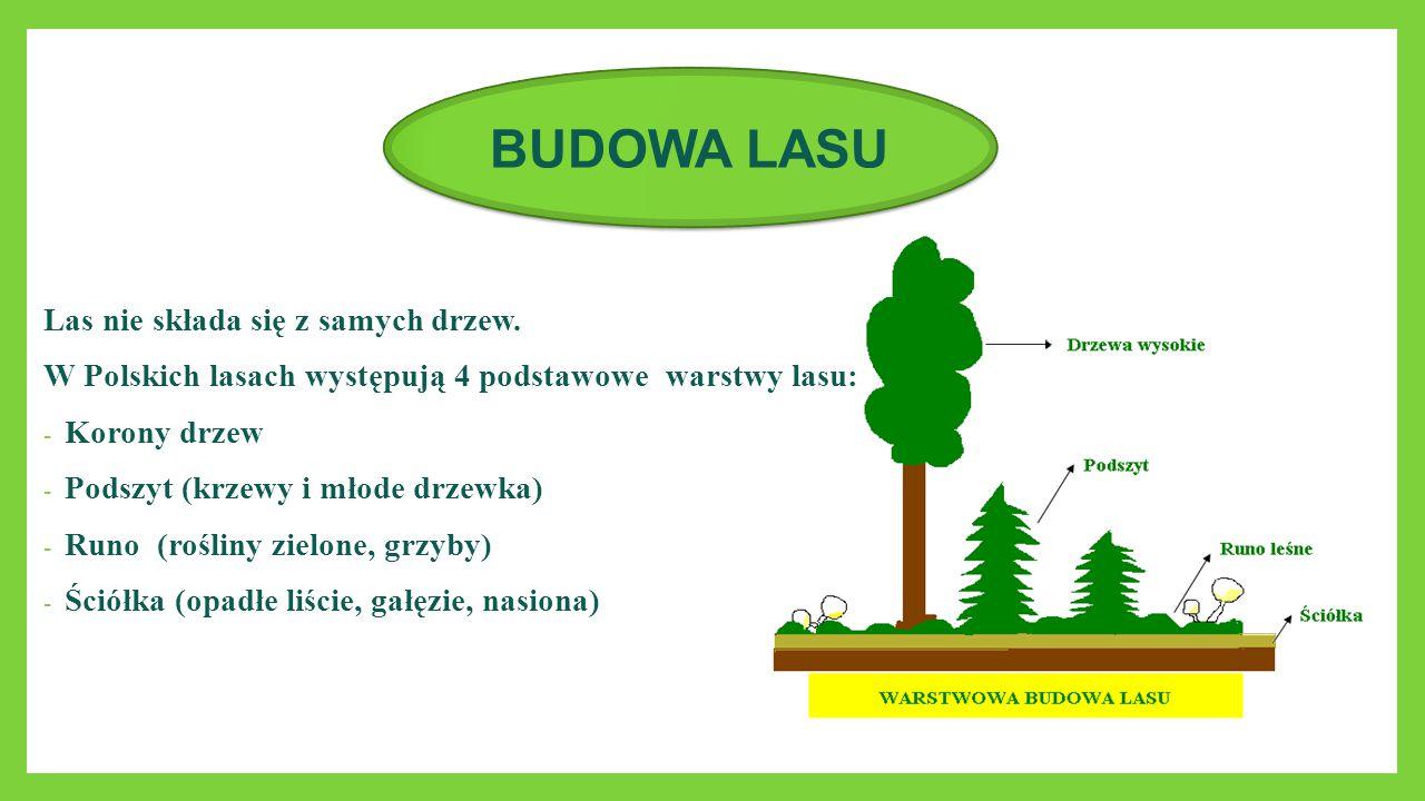Las nie składa się z samych drzew. W Polskich lasach występują 4 podstawowe warstwy lasu: - Korony drzew - Podszyt (krzewy i młode drzewka) - Runo (ro