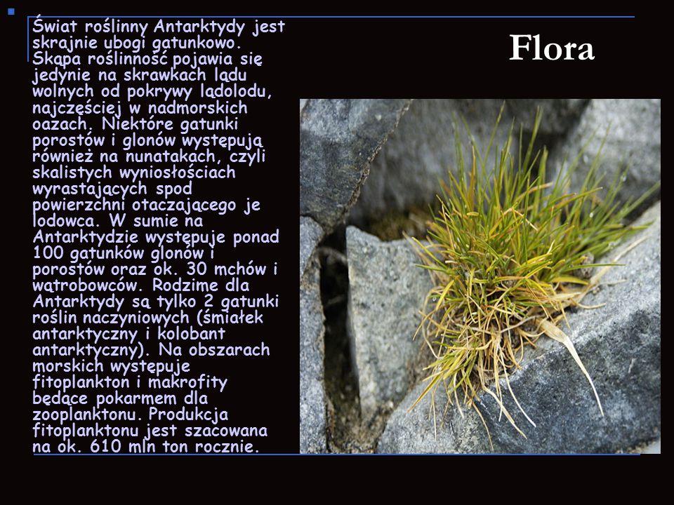 Flora Świat roślinny Antarktydy jest skrajnie ubogi gatunkowo. Skąpa roślinność pojawia się jedynie na skrawkach lądu wolnych od pokrywy lądolodu, naj
