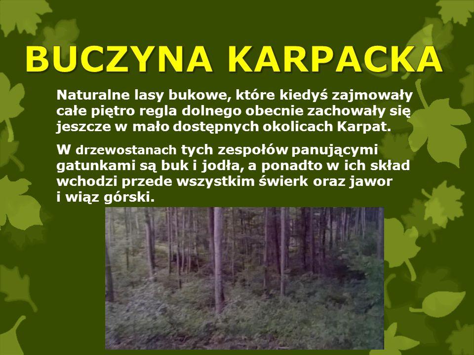 Naturalne lasy bukowe, które kiedyś zajmowały całe piętro regla dolnego obecnie zachowały się jeszcze w mało dostępnych okolicach Karpat. W drzewostan