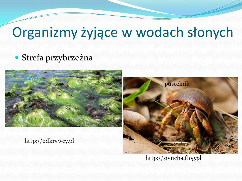 Organizmy żyjące w wodach słonych Strefa przybrzeżna http://odkrywcy.pl glony http://sivucha.flog.pl pustelnik