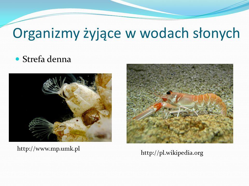 Organizmy żyjące w wodach słonych Strefa denna http://www.mp.umk.pl http://pl.wikipedia.org