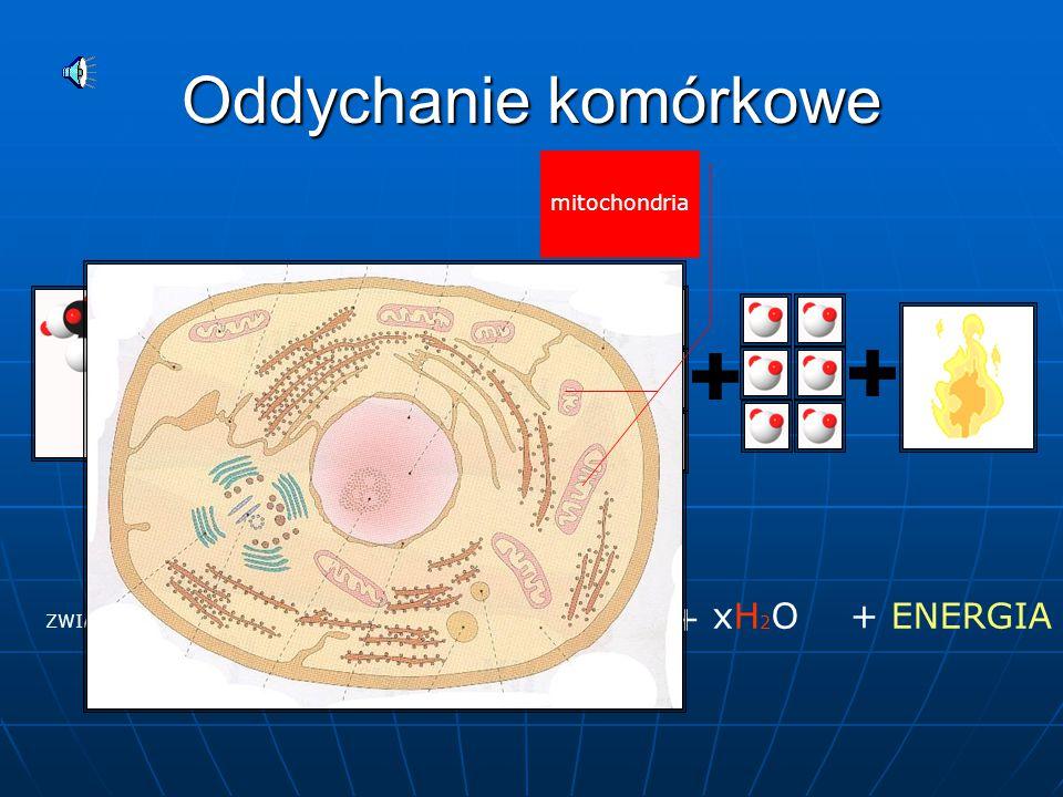 Fotosynteza CHLOROFIL ENERGIA SŁONECZNA xCO 2 + xH2O +xH2O + (CH 2 O)x + xO 2 chloroplasty