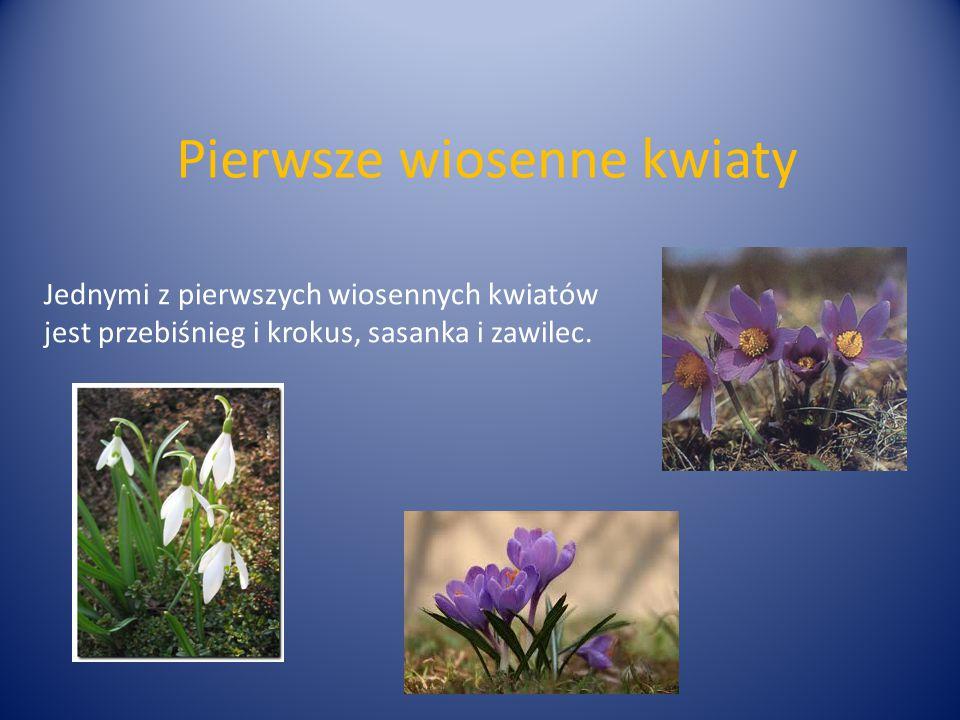 Pierwsze wiosenne kwiaty Jednymi z pierwszych wiosennych kwiatów jest przebiśnieg i krokus, sasanka i zawilec.