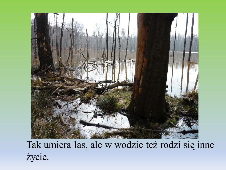 Tak umiera las, ale w wodzie też rodzi się inne życie.