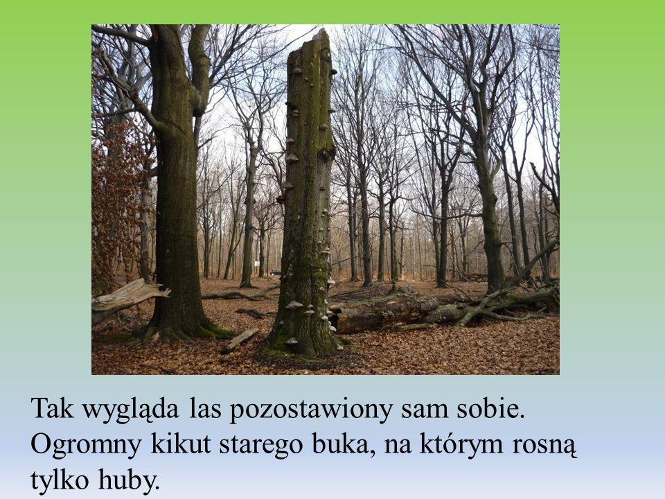 Tak wygląda las pozostawiony sam sobie. Ogromny kikut starego buka, na którym rosną tylko huby.