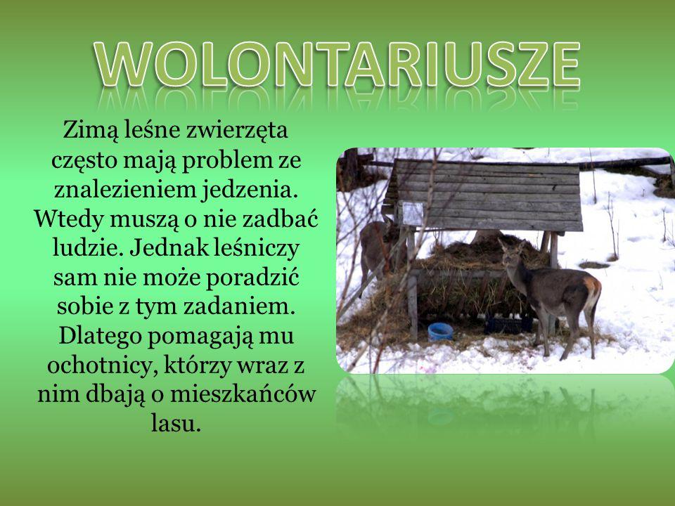 Zimą leśne zwierzęta często mają problem ze znalezieniem jedzenia.