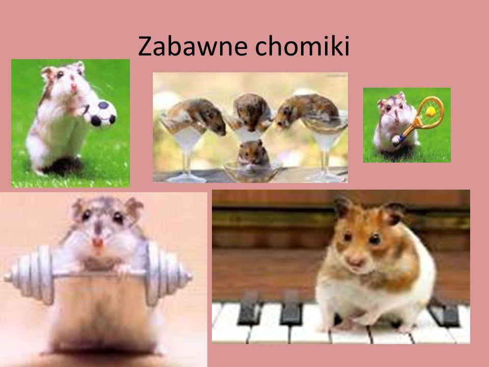 Informacje o chomikach Chomiki żyją do 4 lat.