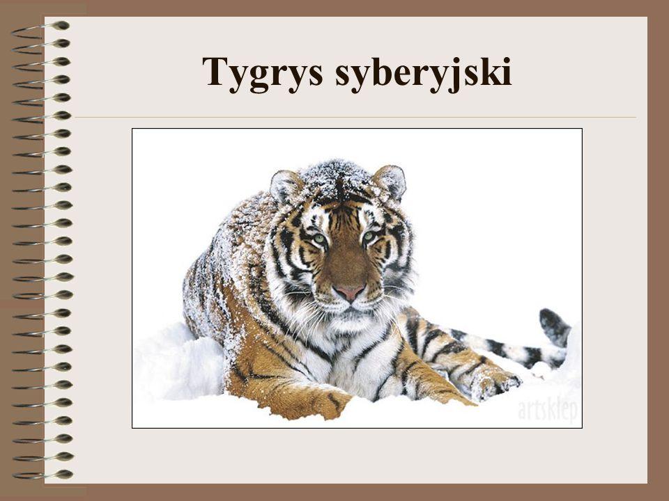 Tygrys syberyjski, tygrys amurski (Panthera tigris altaica) – drapieżny ssak z rodziny kotowatych, największy z podgatunków tygrysa.