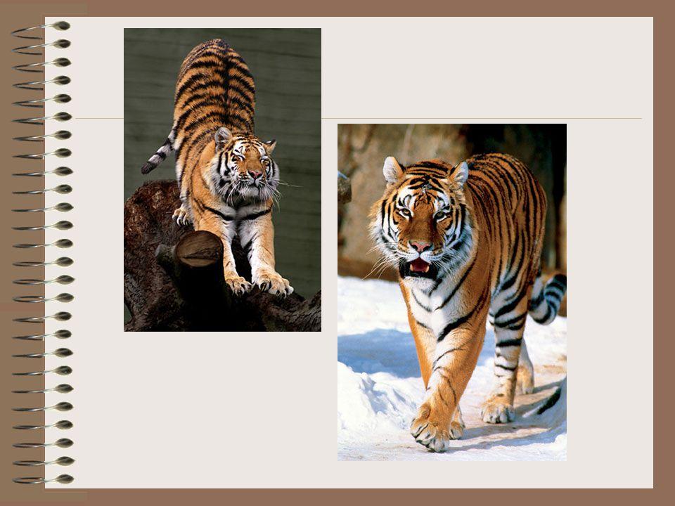 Zimowa sierść jest żółtawa i długa (40 do 60 mm na grzbiecie i 70 do 105 mm na brzuchu), a letnia – rudopomarańczowa, jaśniejsza niż u pozostałych tygrysów, z ciemnobrązowymi pręgami – pozostałe podgatunki mają pręgi raczej czarne niż brązowe.