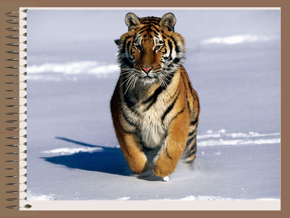 Ponieważ tygrys ten zamieszkuje tereny, gdzie narażony jest na temperatury poniżej -40 °C, dlatego jako jedyny tygrys posiada w pachwinach i na brzuchu ok.