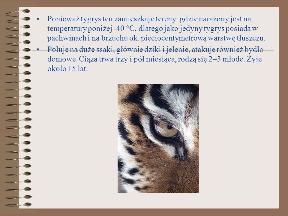 Ponieważ tygrys ten zamieszkuje tereny, gdzie narażony jest na temperatury poniżej -40 °C, dlatego jako jedyny tygrys posiada w pachwinach i na brzuch