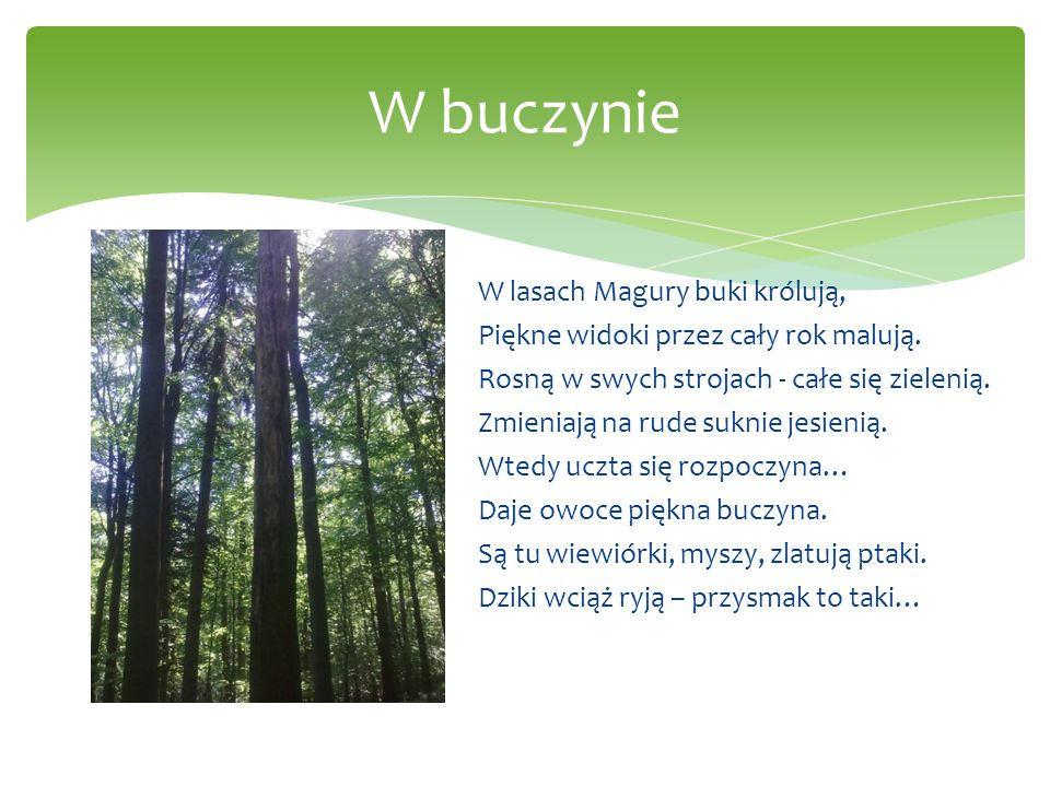 W buczynie W lasach Magury buki królują, Piękne widoki przez cały rok malują. Rosną w swych strojach - całe się zielenią. Zmieniają na rude suknie jes