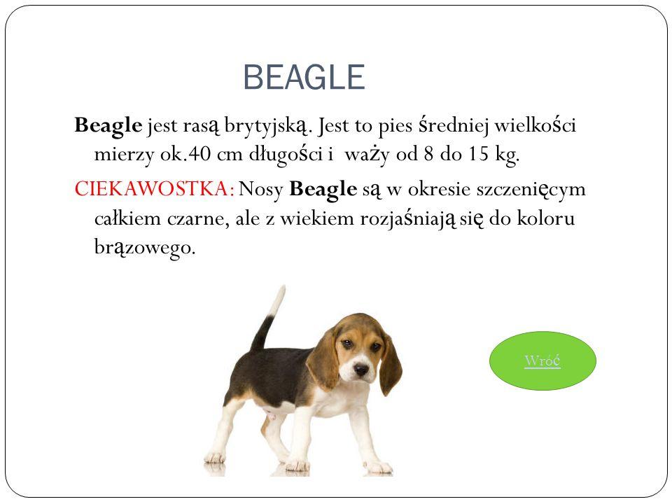 BEAGLE Beagle jest ras ą brytyjsk ą. Jest to pies ś redniej wielko ś ci mierzy ok.40 cm długo ś ci i wa ż y od 8 do 15 kg. CIEKAWOSTKA: Nosy Beagle s