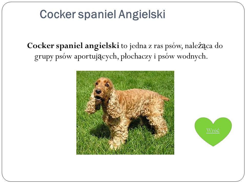 Cocker spaniel Angielski Cocker spaniel angielski to jedna z ras psów, nale żą ca do grupy psów aportuj ą cych, płochaczy i psów wodnych. Wró ć