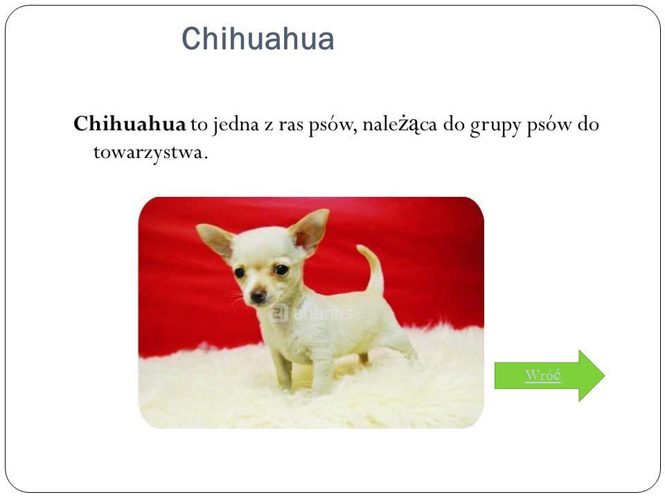 Chihuahua Chihuahua to jedna z ras psów, nale żą ca do grupy psów do towarzystwa. Wró ć