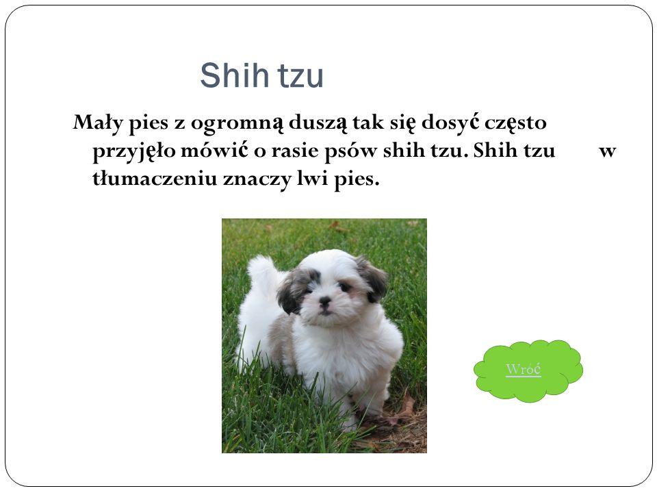 Shih tzu Mały pies z ogromn ą dusz ą tak si ę dosy ć cz ę sto przyj ę ło mówi ć o rasie psów shih tzu. Shih tzu w tłumaczeniu znaczy lwi pies. Wró ć