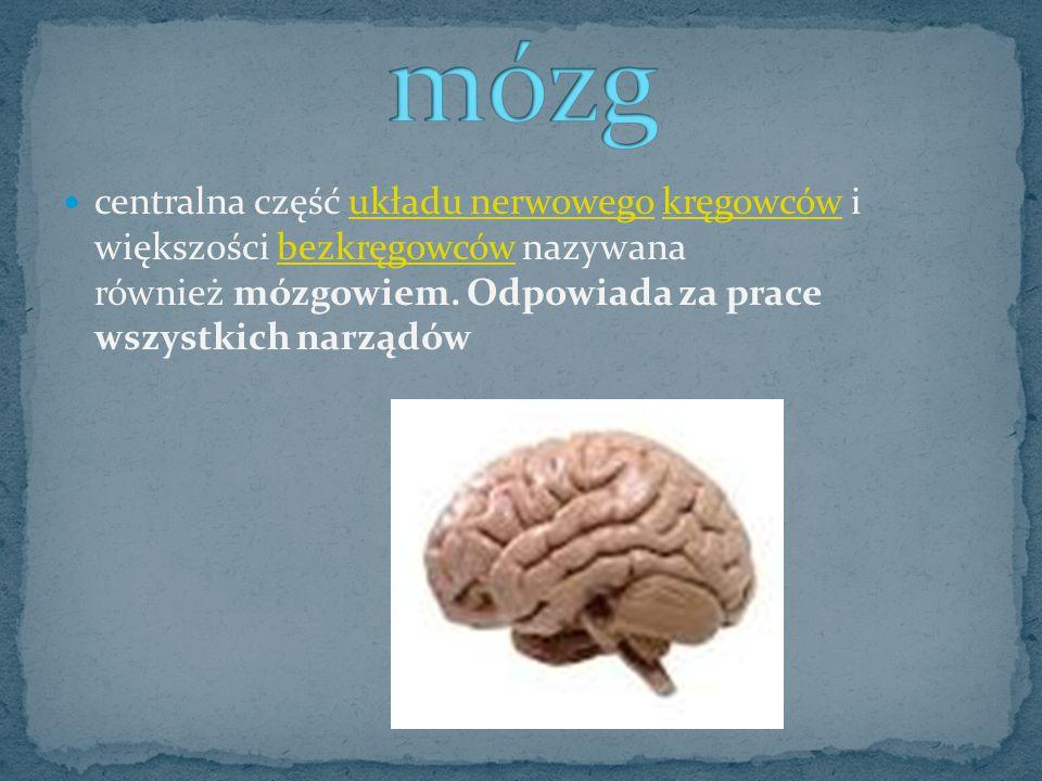 centralna część układu nerwowego kręgowców i większości bezkręgowców nazywana również mózgowiem. Odpowiada za prace wszystkich narządówukładu nerwoweg