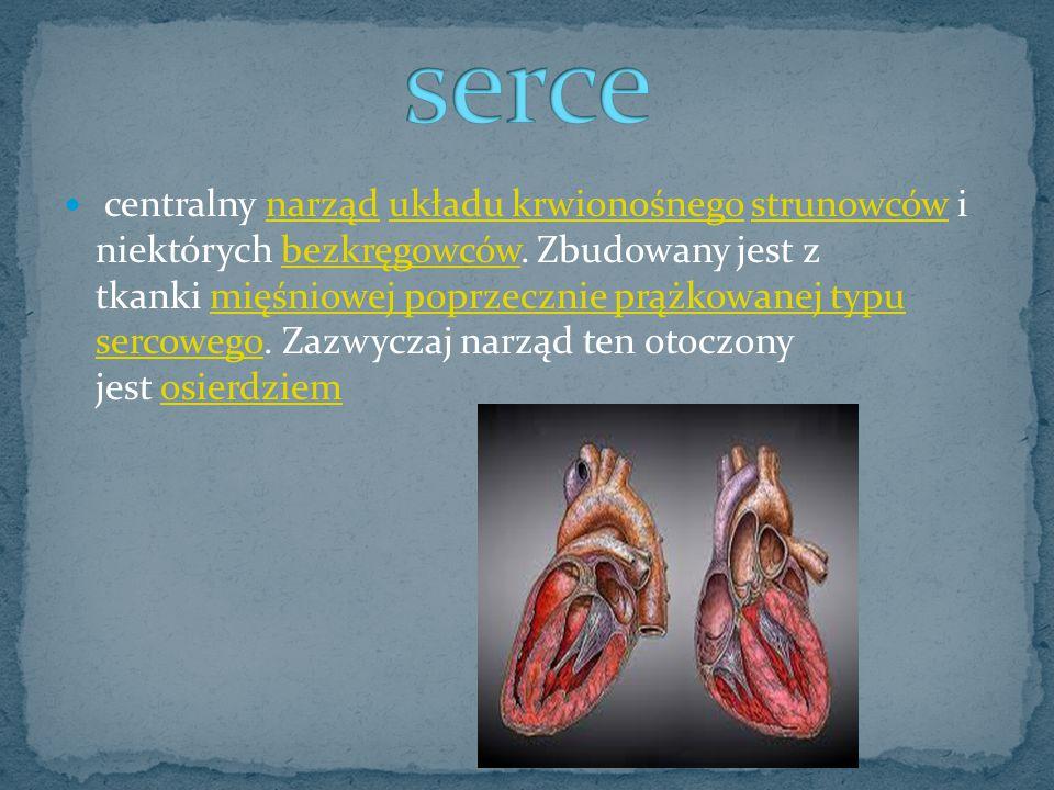 centralny narząd układu krwionośnego strunowców i niektórych bezkręgowców. Zbudowany jest z tkanki mięśniowej poprzecznie prążkowanej typu sercowego.