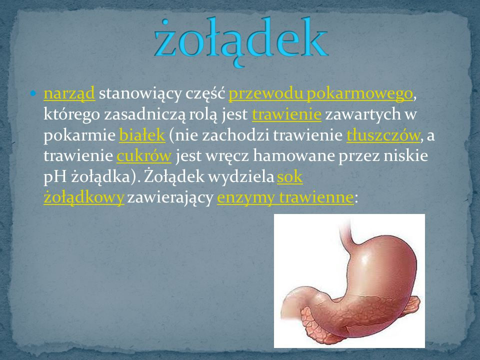narząd stanowiący część przewodu pokarmowego, którego zasadniczą rolą jest trawienie zawartych w pokarmie białek (nie zachodzi trawienie tłuszczów, a