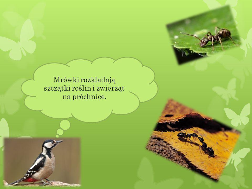 W skład diety dzika wchodzą larwy i poczwarki owadów szkodników, bytujące w glebie.
