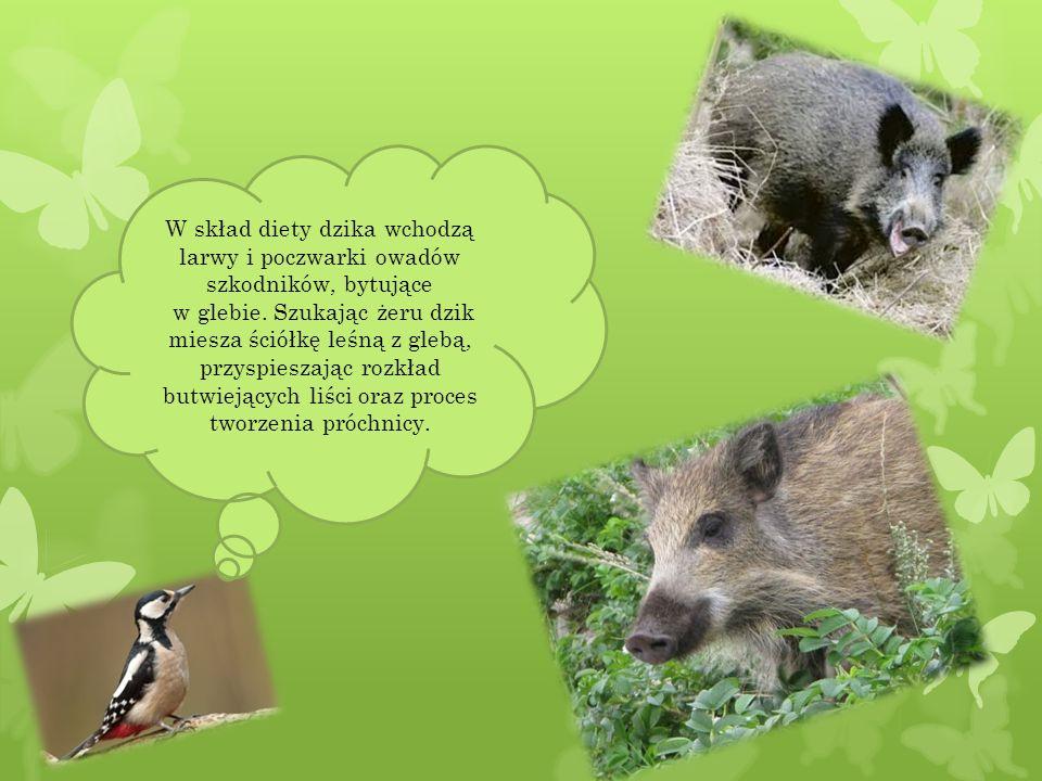 Ptaki drapieżne (myszołowy, jastrzębie, krogulce i sowy) zjadają olbrzymie ilości gryzoni oraz innych chorych lub słabych zwierząt.