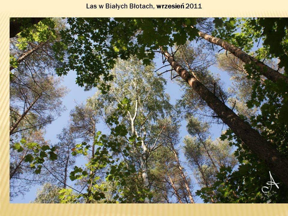 Las w Białych Błotach, wrzesień 2011