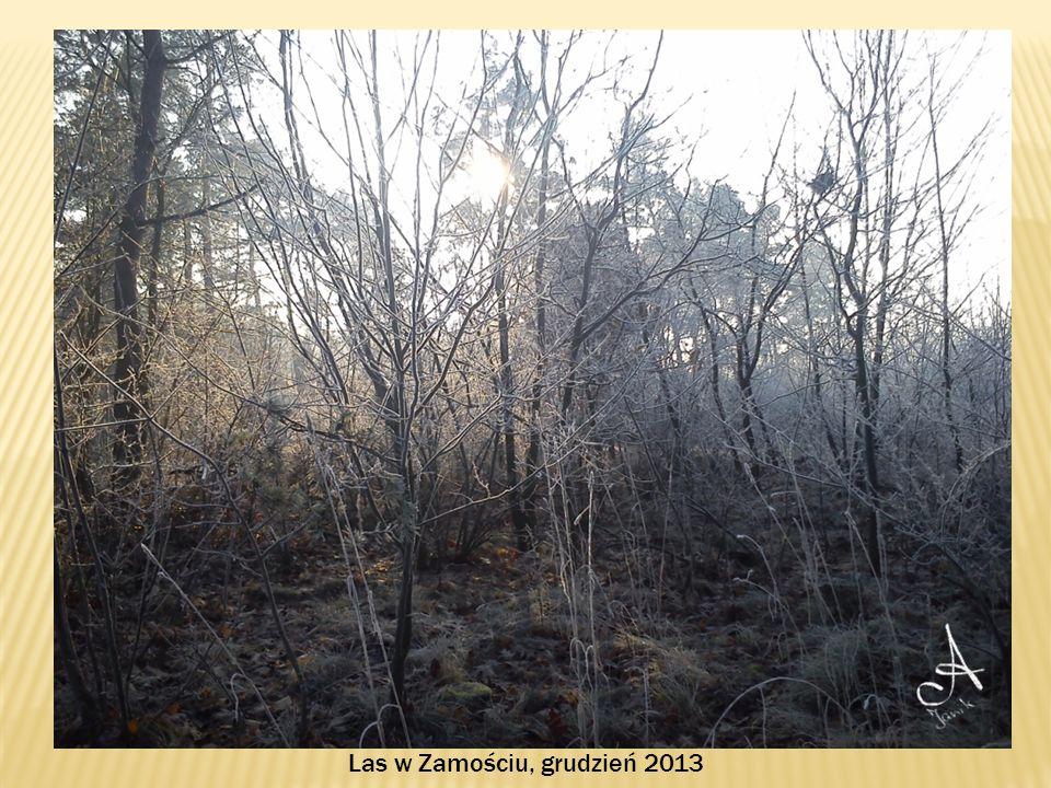 Las w Zamościu, grudzień 2013