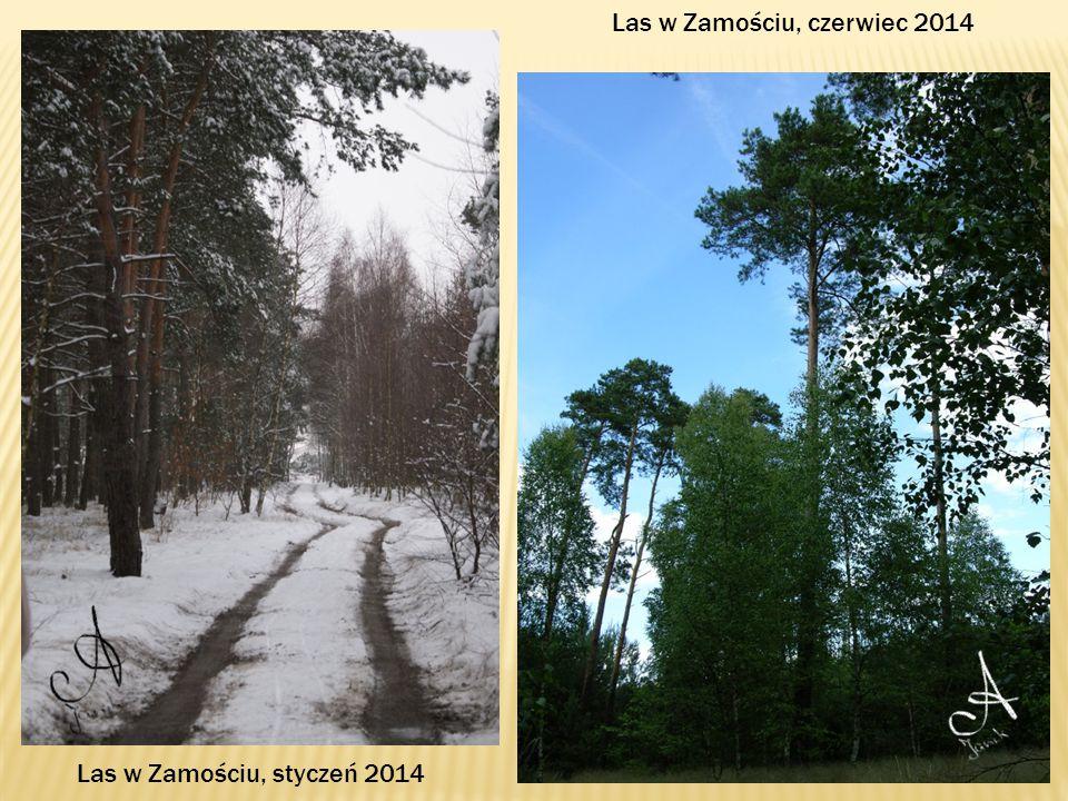 Las w Zamościu, czerwiec 2014 Las w Zamościu, styczeń 2014